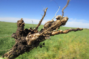 300clubroot