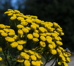 commontansy250w