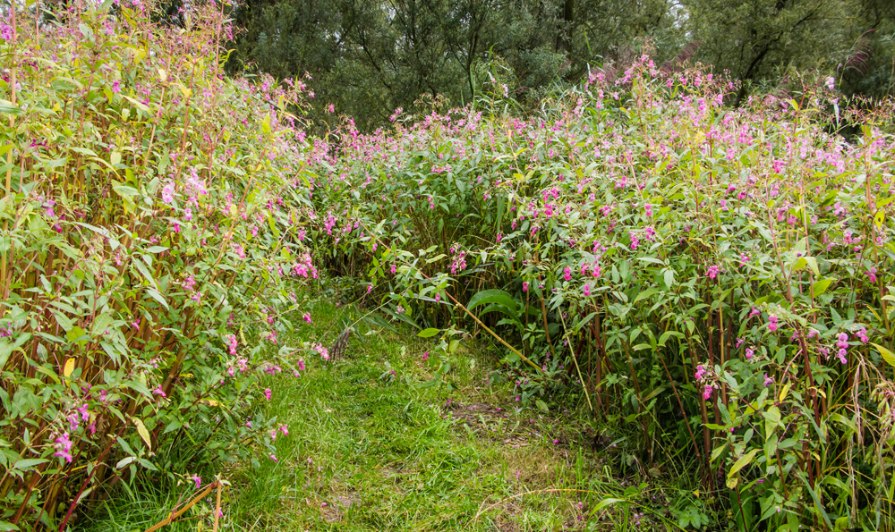 himalayan balsam in field